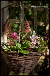 Planting up a winter hanging basket with Skimmia japonica, cyclamen, pansies and primulas